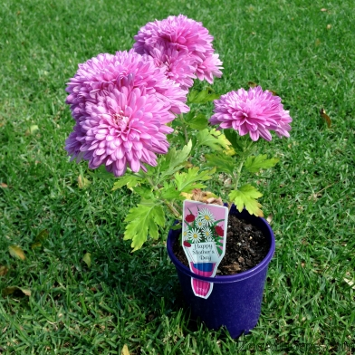 Flowers for Mothers' Day Mummy Bloggers Australian ZoeAtHome.com